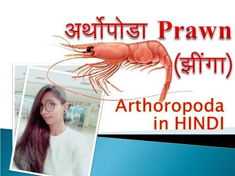Arthropoda (Prawn) in hindi (हिन्दी) | General Character or Arthropoda Prawn |  Reproductive system
