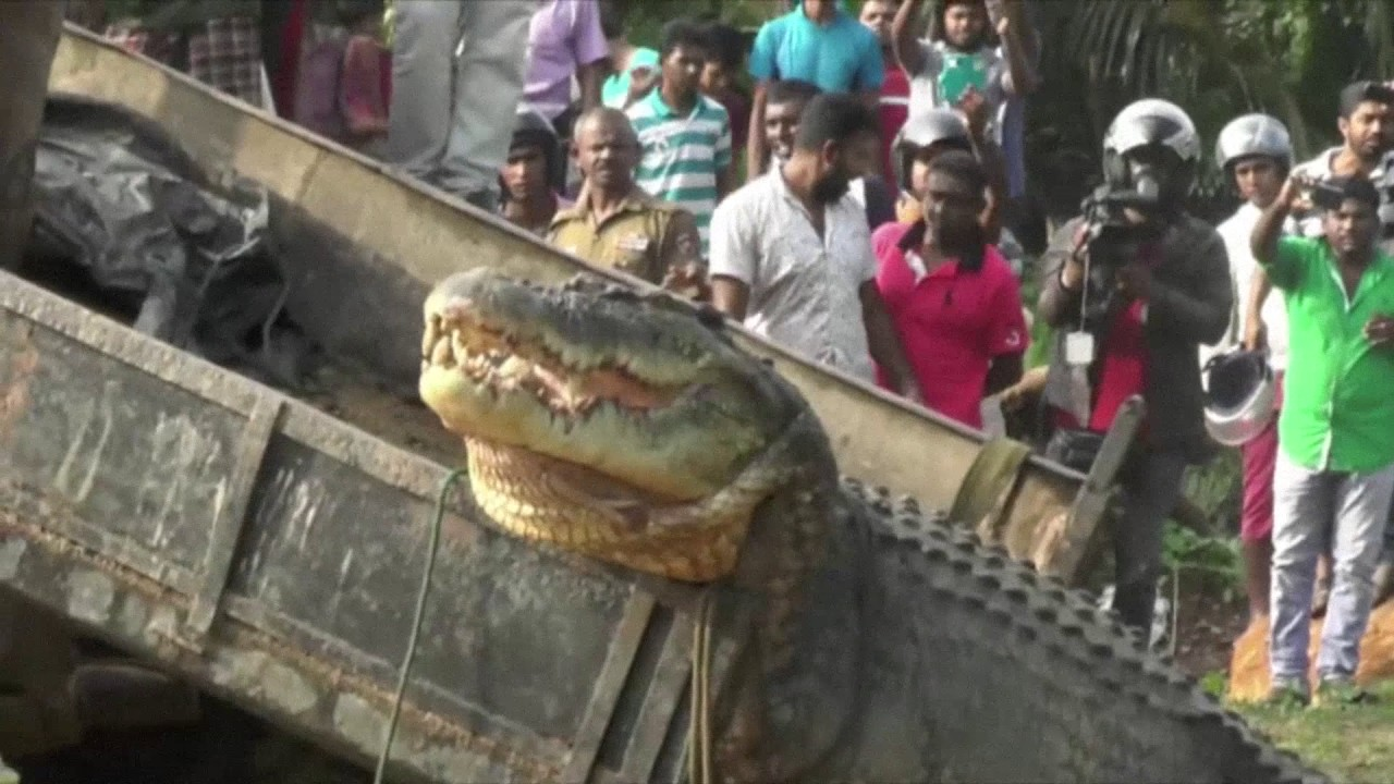 Giant Crocodile Found In Sri Lanka YouTube - Meet worlds largest crocodile caught philippines