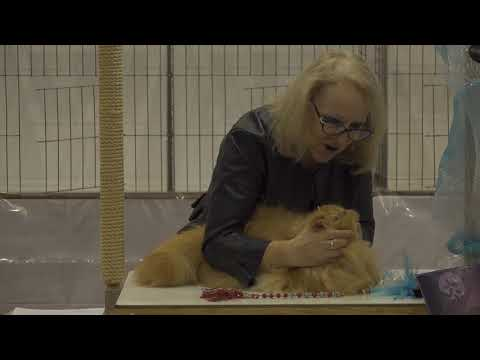 CFA International Cat Show 2018 - Red Persian kitten -Original clip