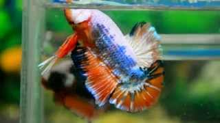Paitune Betta DCS 002 May 5/5 2015 Young Giant Fancy HMPK Male