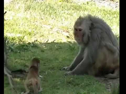 Facial Communication Between Mother And Infant Macaque Monkeys, Part 1