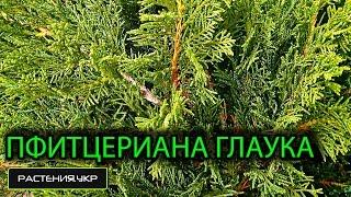 Можжевельник средний Пфитцериана Глаука / Можжевельник посадка и уход / хвойные растения(, 2015-04-30T10:51:29.000Z)