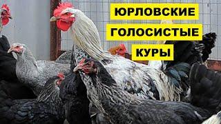 Разведение кур породы Юрловская голосистая как бизнес идея | Куры Юрловские голосистые