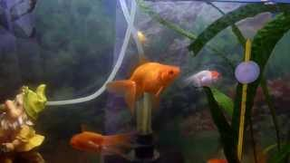 Золотые рыбки и телескопы.