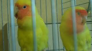 жёлтые неразлучники