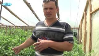 видео Фитофтороз томатов