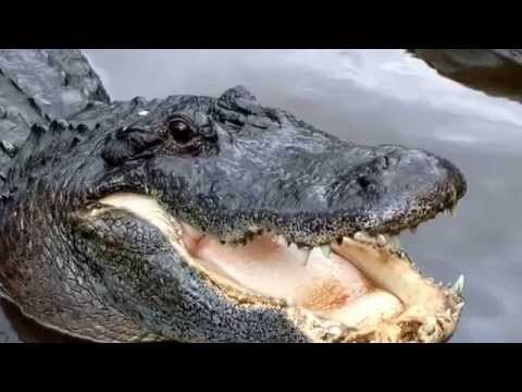 Alligator facts: 17 facts about American Alligators