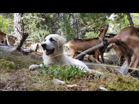 LIVESTOCK GUARDIAN DOG - PYRENEAN MOUNTAIN DOG - PYRENEAN MOUNTAIN DOG INSTITUTE