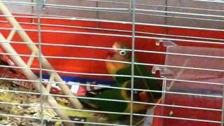 Попугай фишер в клетке