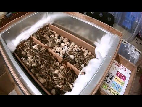 Как вылупляются перепелята в инкубаторе видео