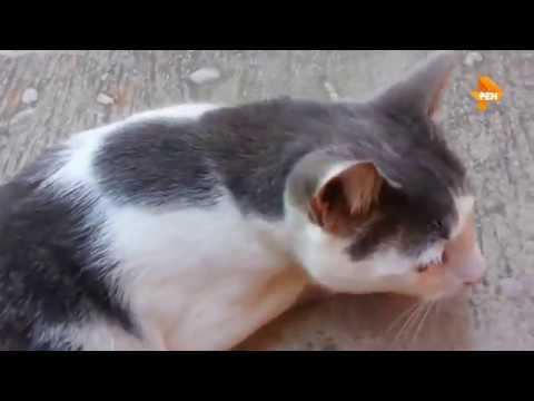 snow bengal cat price