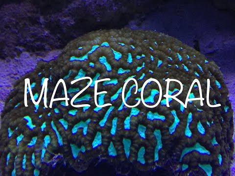 Brain Worm Platygyra Maze Coral from Liveaquaria.com