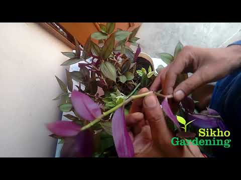 How to Grow Multi Color Leaves Plant with Cutting Easy !!  NOT- [seeds link below in description]