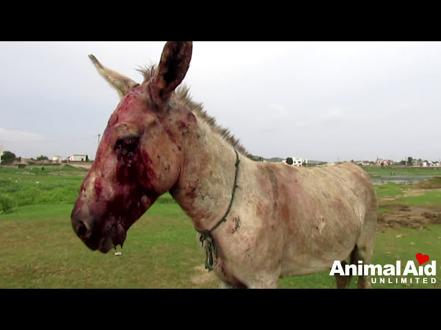 Brutally beaten donkey is loved at last