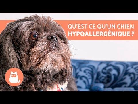 10 Races De Chiens HYPOALLERGÉNIQUE - Parfaites Pour Personnes Allergiques