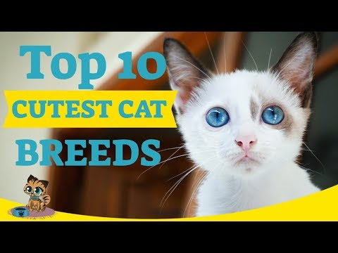 Cutest Cats - Top 10 Cutest Cat Breeds Ultimate CUTE CATS List