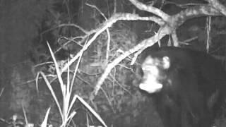Chimp raiders rob corn fields at night