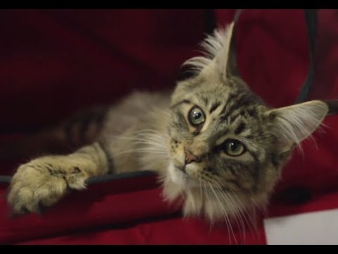 Maine Coon - Cat Breed Spotlight by Petco