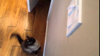 Billie the Siamese Cat Jumps for paper