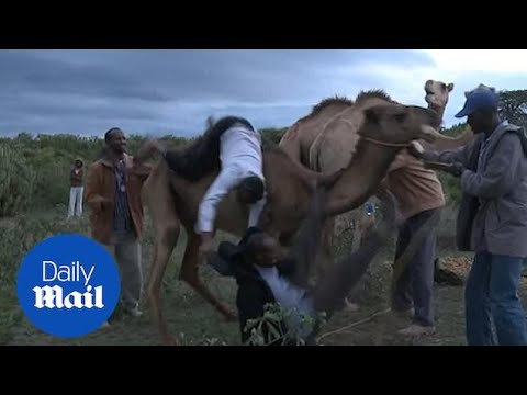 Angry camel bucks Kenyan journalist to the ground