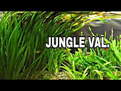 Aquatic Plants Exhaling Oxygen   Jungle Vallisneria