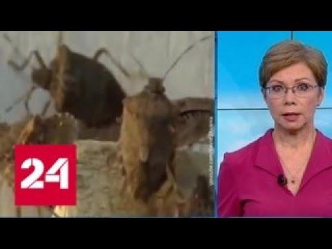 Эксперт: мраморный клоп очень опасен, потому что у него нет местных естественных врагов - Россия 24