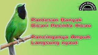 Download Lagu Tes 3 Menit Burung Cucak Ijo Langsung NYAUT dan rewel abis mp3