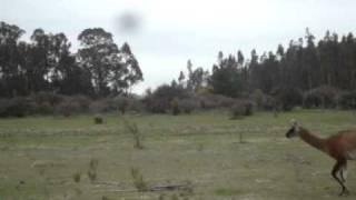 Camelidos R. N. L. P. / CONAF V Región - MOV05104.MPG