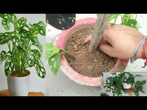 How to grow swiss cheese vine |full care & propogation