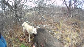 Охота на кабана с лайкой: на 3аброшенных дачах(Атос)(, 2015-11-06T13:42:29.000Z)