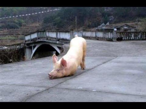 肥豬被宰殺前越牆逃命「流淚向僧人下跪求救!」 有字幕