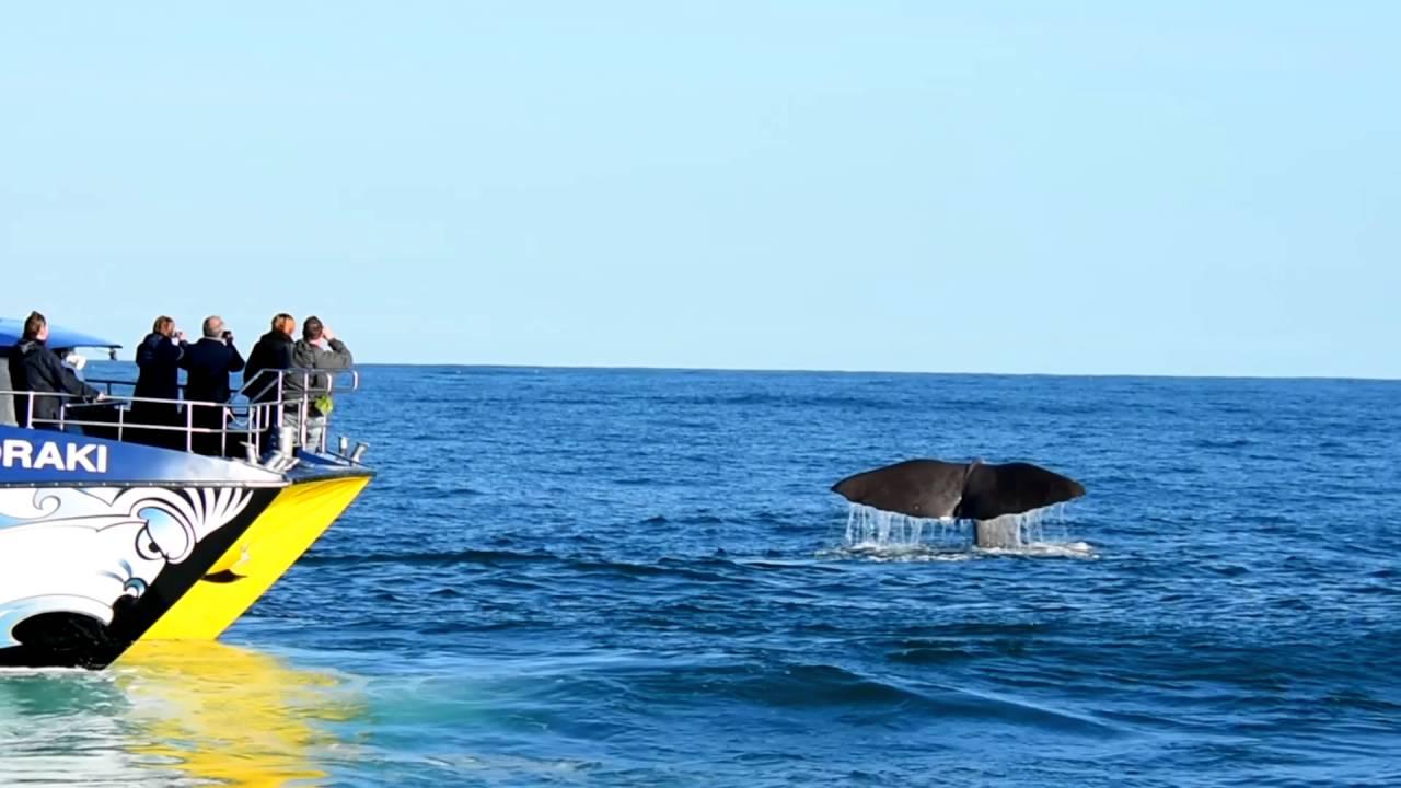 sperm whale watching new zealand