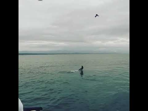 !!Warning!!  Graphic footage!! White Shark vs Cape Fur Seal