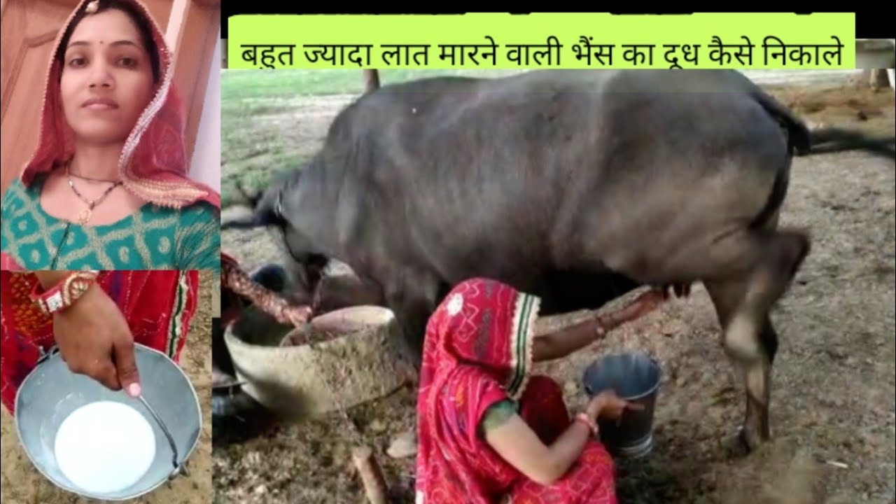 II How to milking buffalo by Indian women II