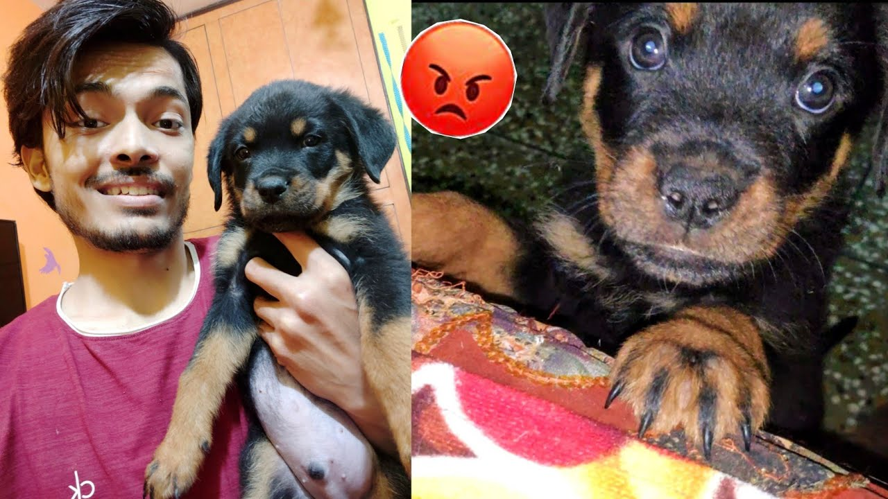 Sultan showing Aggression | Dog Can talk Part 90. ROXY the Rottweiler Roxy ke puppy ,Review reloaded