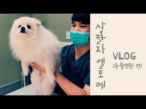 🐶엘포메의 상팔자 VLOG(동물병원 편) 병원 탈출기~Dog pet pomeranian attacking heart