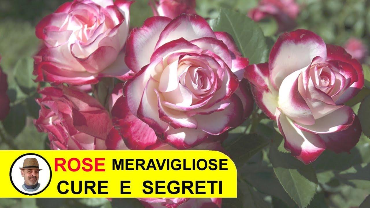 Orchidee Meravigliose Trucchi E Segreti rose meravigliose trucchi e segreti