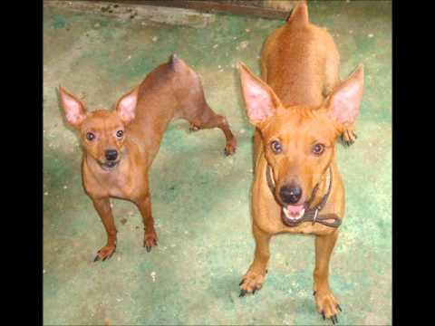 Cachorros pinscher para vender em teresina