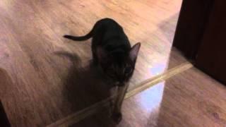 Кашель у абиссинской кошки 3