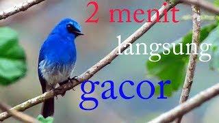 Masteran burung selendang biru