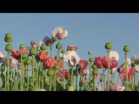 Mohnblüte - Monhof Gressl
