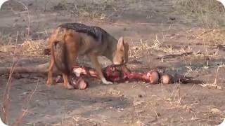 WILD ANIMALS HUNTING PREY COMPILATION