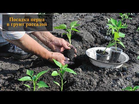 Посадка перца в грунт рассадой | рассадой | открытый | открытом | посадка | сажать | перца | перец | грунт | уход | как