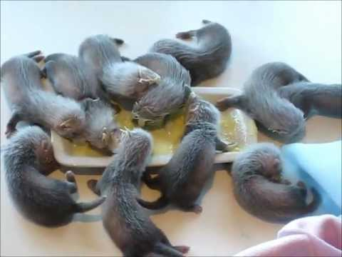 Ferret pups eating on their own for the first time