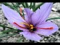 LUAR BIASA!! 5 Manfaat Bunga Saffron Bagi Kecantikan Kulit dan Rambut