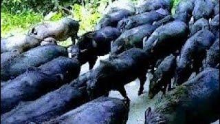 শুকর পালনের লাভজনক পদ্ধতি / উন্নঞ পদ্ধিতিতে শুয়োর পালন pig Farming In bd llvhumi kriihi