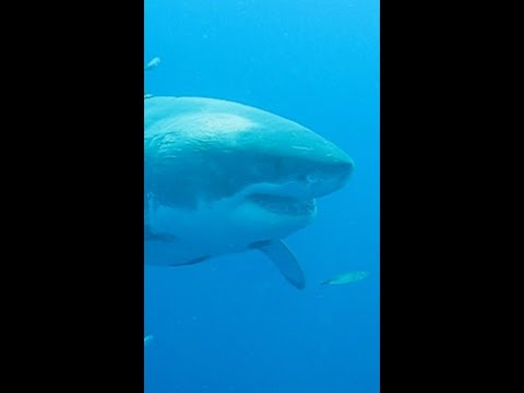 The World's Largest Shark (Vertical Video)