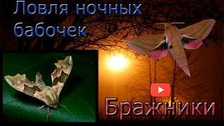 видео Насекомое бабочка ночная