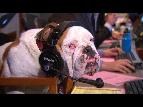 Yorkshire Terrier VS Shetland Sheepdog: GMA Challenge