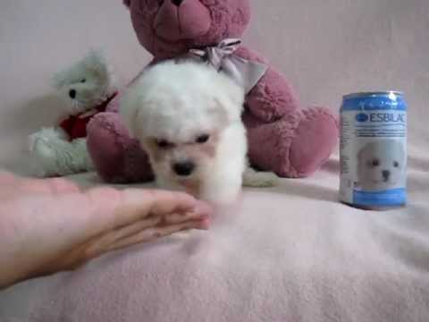 Snow white : teacup poodle female - YouTube